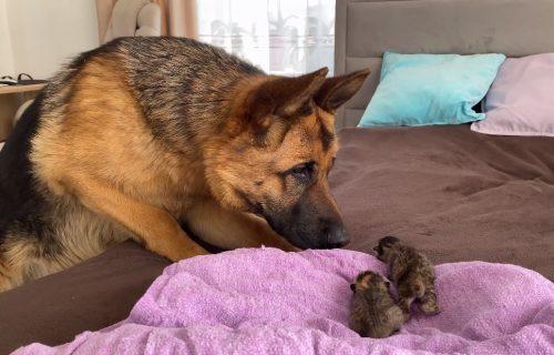 Nemački ovčar se prvi put susreo sa MAČIĆIMA, a njegova reakcija je NEODOLJIVA (VIDEO)