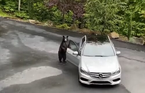 """Medved iz šume prišao """"mercedesu"""" na putu i nastao je snimak koji ostavlja BEZ REČI (VIDEO)"""