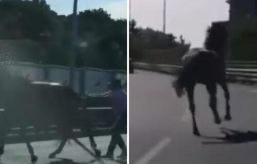 Nesvakidašnja scena u Beogradu: Rasni KONJ pobegao sa Hipodroma, pa jurcao mostom na Adi (VIDEO)
