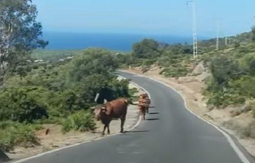 Ovom selu ne trebaju putokazi, KRAVE su obučene da obavljaju sve (VIDEO)
