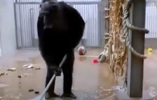 Urnebesan prizor iz zoo vrta: Radnik zaboravio metlu u kavezu, a na scenu je stupila šimpanza (VIDEO)