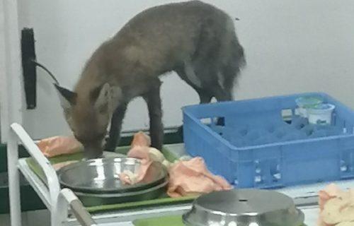 DOLIJALA: Poznato šta se desilo sa LISICOM koja je krala hranu pacijentima u čačanskoj bolnici (FOTO)