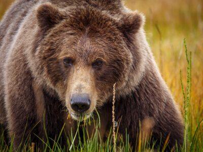 Medvedev se vraćao s pecanja, usledio je pakao: Rus ubio medveda, ali i sam završio u komi (FOTO)