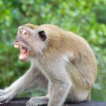 Bizarna SMRT u Indiji: Majmun ubio čoveka CIGLOM, ali tu tragediji nije kraj - poginula i žena
